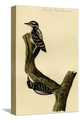 Hairy Woodpecker-John James Audubon-Stretched Canvas Print