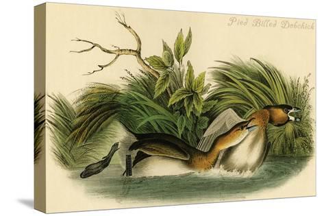 Pied Billed Dobchick-John James Audubon-Stretched Canvas Print