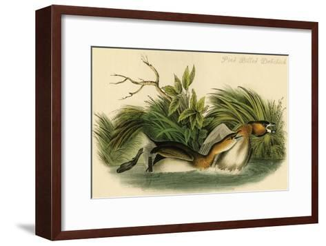 Pied Billed Dobchick-John James Audubon-Framed Art Print