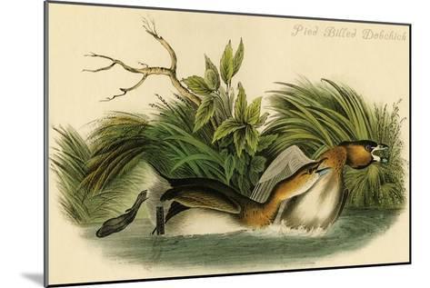 Pied Billed Dobchick-John James Audubon-Mounted Art Print