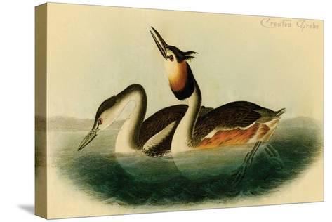 Crested Grebe-John James Audubon-Stretched Canvas Print