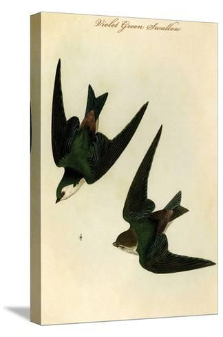 Violet Green Swallow-John James Audubon-Stretched Canvas Print