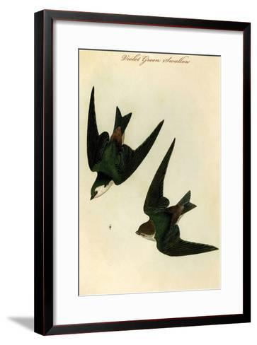 Violet Green Swallow-John James Audubon-Framed Art Print