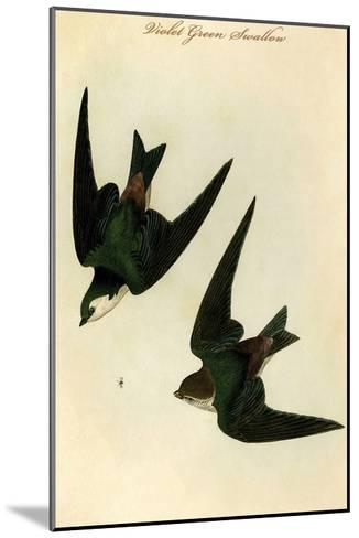 Violet Green Swallow-John James Audubon-Mounted Art Print
