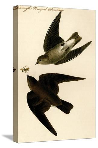 Rough Winged Swallow-John James Audubon-Stretched Canvas Print