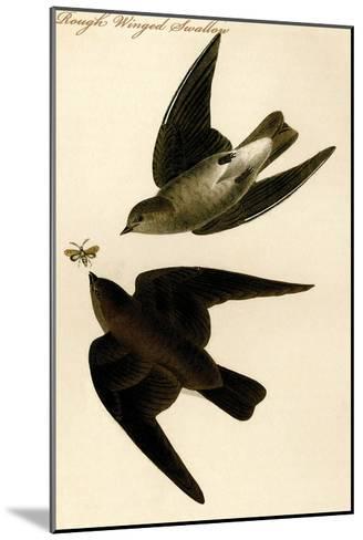 Rough Winged Swallow-John James Audubon-Mounted Art Print