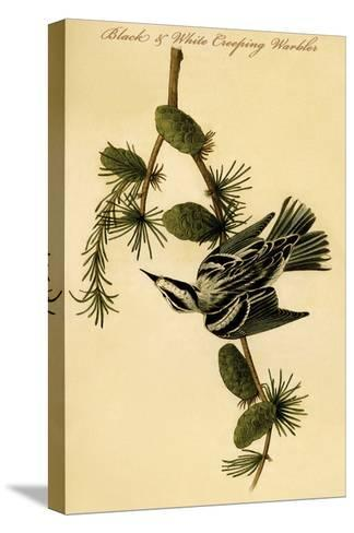Black and White Creeping Warbler-John James Audubon-Stretched Canvas Print