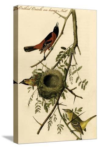 Orchid Oriole on Hang Nest-John James Audubon-Stretched Canvas Print