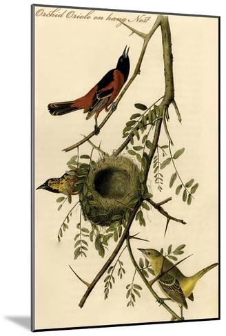 Orchid Oriole on Hang Nest-John James Audubon-Mounted Art Print