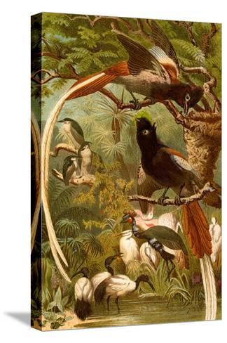 Pygmy Bird of Paradise-F^W^ Kuhnert-Stretched Canvas Print