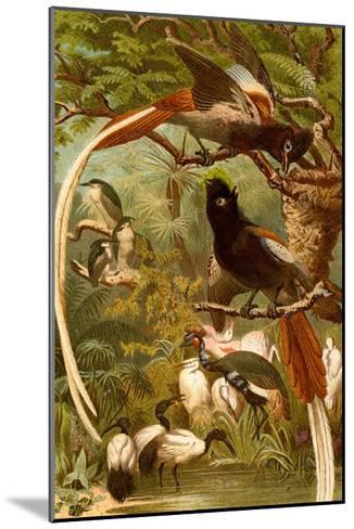 Pygmy Bird of Paradise-F^W^ Kuhnert-Mounted Art Print