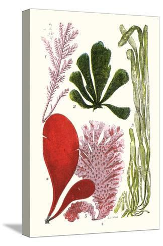 Seaweeds - Common Coralline-James Sowerby-Stretched Canvas Print