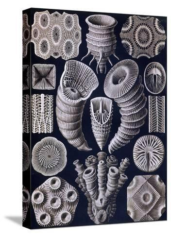 Tetracoralla - Coral-Ernst Haeckel-Stretched Canvas Print