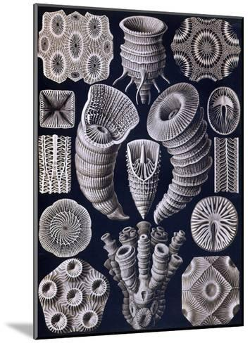 Tetracoralla - Coral-Ernst Haeckel-Mounted Art Print