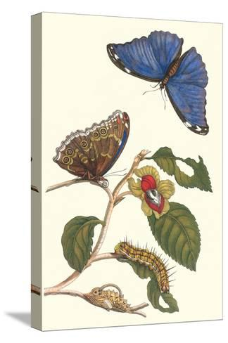 Epiphytic Climbing Plant with a Peleides Blue Morpho Butterfly and a Gulf Fritillary-Maria Sibylla Merian-Stretched Canvas Print