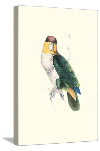 Bay Headed Parrot - Pionites Leucogasper-Edward Lear-Stretched Canvas Print