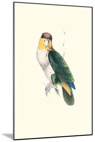 Bay Headed Parrot - Pionites Leucogasper-Edward Lear-Mounted Art Print