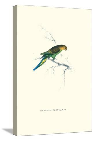 Undulated Parakeet - Nelopsittacus Undulatus-Edward Lear-Stretched Canvas Print