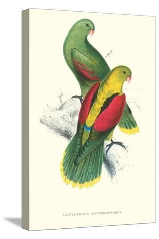 Crimson Winged Parakeet - Aprosmictus Erythropterus-Edward Lear-Stretched Canvas Print