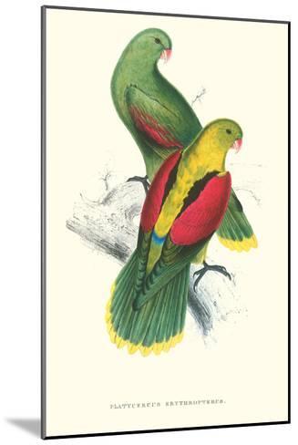 Crimson Winged Parakeet - Aprosmictus Erythropterus-Edward Lear-Mounted Art Print