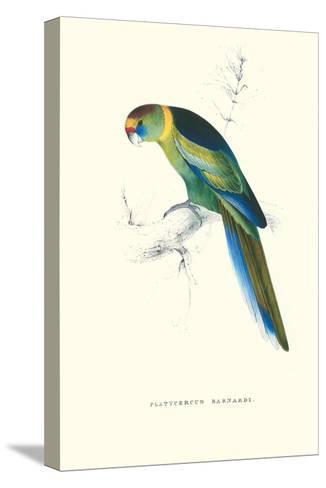 Barnard's Parakeet - Barnardius Zonarius Barnardi-Edward Lear-Stretched Canvas Print