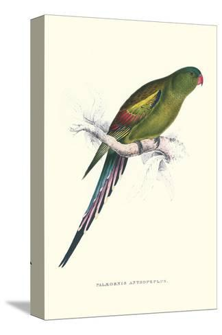 Black Tailed Parakeet(Female) - Polypelis Anthopeplus-Edward Lear-Stretched Canvas Print