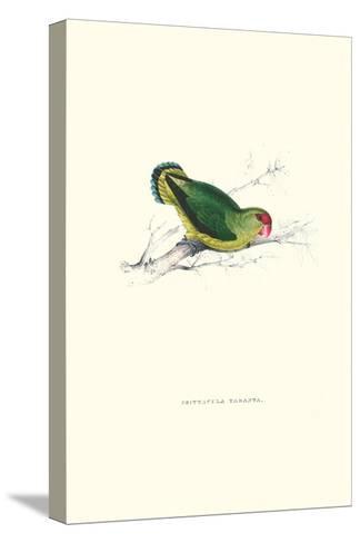 Abyssinian Parakeet - Agapornis Taranta-Edward Lear-Stretched Canvas Print