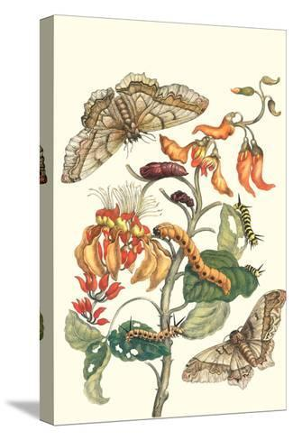 Giant Silk Moth on a Purple Coral Tree-Maria Sibylla Merian-Stretched Canvas Print