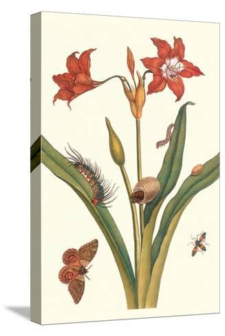 Nocturnal Moth Caterpillar on a Barbados Lilly and a Coreidae Bug-Maria Sibylla Merian-Stretched Canvas Print