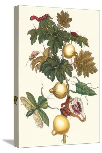 Nipple Fruit with a Leaf Mantus-Maria Sibylla Merian-Stretched Canvas Print