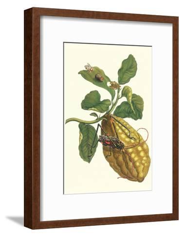 Citron with Monkey Slug and a Harlequin Beetle-Maria Sibylla Merian-Framed Art Print
