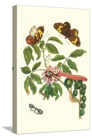 Leguminous Plant with a Sophorae Owl Caterpillar and an Aegle Clearwing Butterfly-Maria Sibylla Merian-Stretched Canvas Print