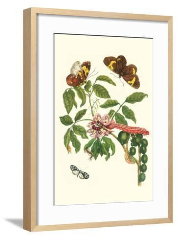 Leguminous Plant with a Sophorae Owl Caterpillar and an Aegle Clearwing Butterfly-Maria Sibylla Merian-Framed Art Print