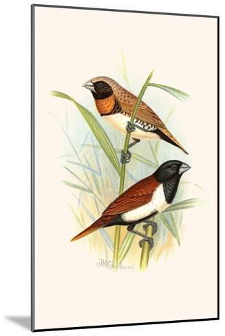 Chestnut Breasted Finch and Three Colored Mannikin-F^w^ Frohawk-Mounted Art Print