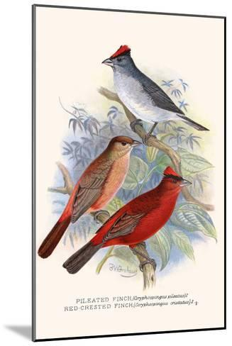 Pileated Finch and Red Crested Finch-F^w^ Frohawk-Mounted Art Print