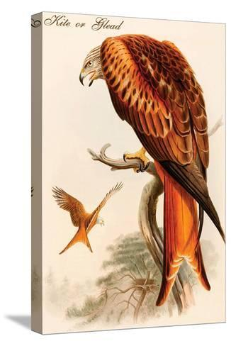 Kite or Glead-John Gould-Stretched Canvas Print