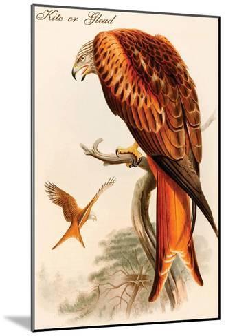 Kite or Glead-John Gould-Mounted Art Print
