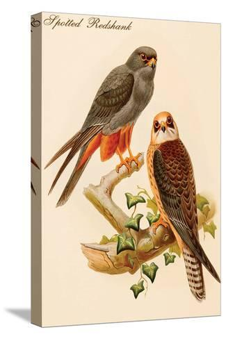 Spotted Redshank-John Gould-Stretched Canvas Print