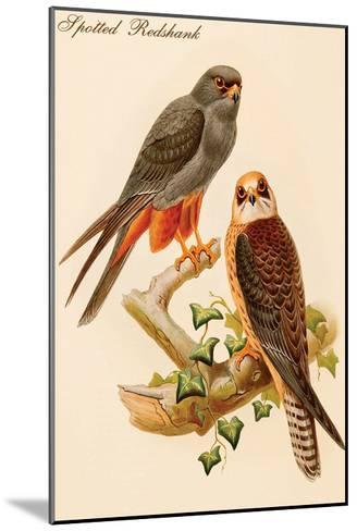Spotted Redshank-John Gould-Mounted Art Print