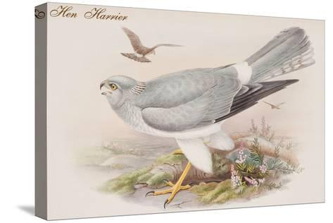Hen Harrier-John Gould-Stretched Canvas Print