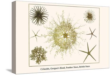Crinoids, Gorgon's Head, Feather Stars, Brittle Stars-Albertus Seba-Stretched Canvas Print
