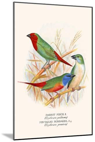 Parrot Finch-F^w^ Frohawk-Mounted Art Print
