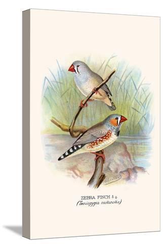 Zebra Finch-F^w^ Frohawk-Stretched Canvas Print