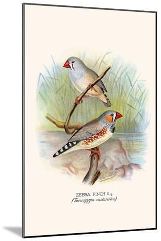 Zebra Finch-F^w^ Frohawk-Mounted Art Print