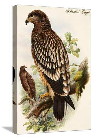 Spotted Eagle-John Gould-Stretched Canvas Print