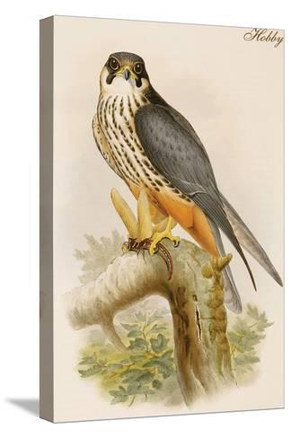 Hobby-John Gould-Stretched Canvas Print