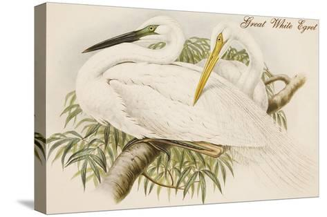 Great White Egret-John Gould-Stretched Canvas Print