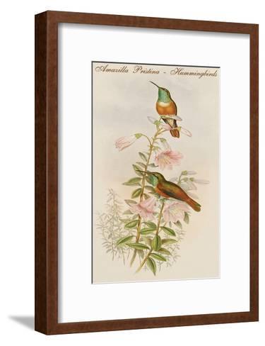 Amazilla Pristina - Hummingbirds-John Gould-Framed Art Print
