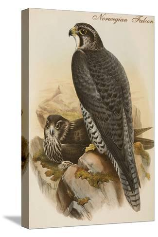 Norwegian Falcon-John Gould-Stretched Canvas Print