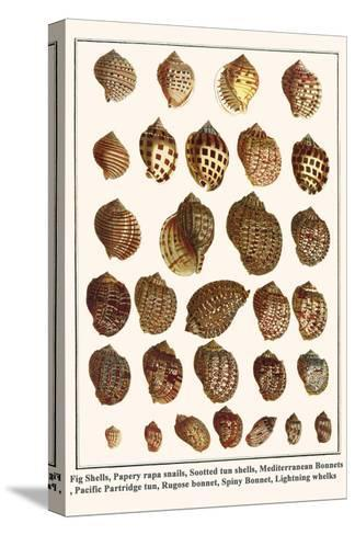 Fig Shells, Papery Rapa Snails, Sootted Tun Shells, Mediterranean Bonnets, etc.-Albertus Seba-Stretched Canvas Print